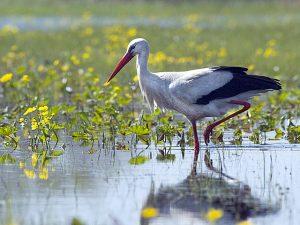 Storch wurde zu einem Symbol von Masuren und Polen